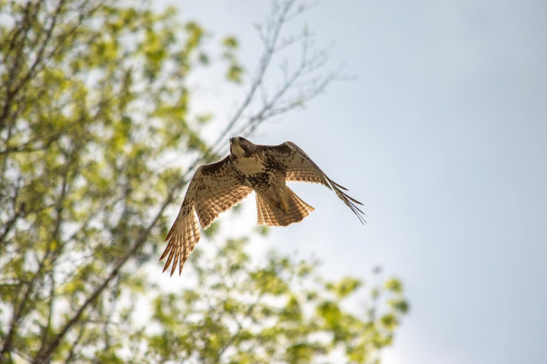 Red-tailed Hawk by Rob Colquhoun