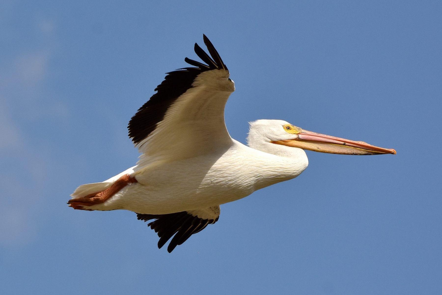 American White Pelican By David Mundy