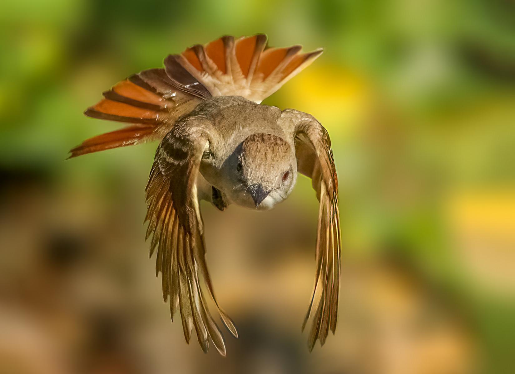 Ash-throated Flycatcher By Stephanie Becker
