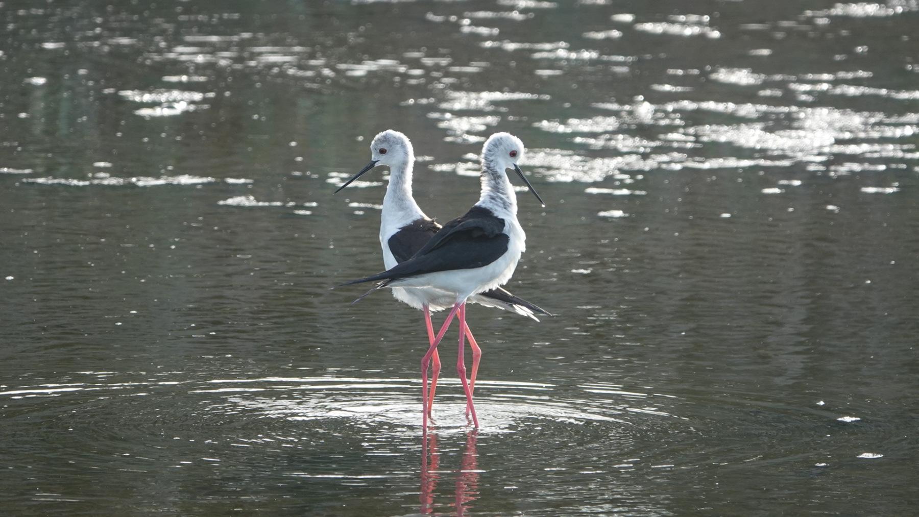 Black-winged Stilts By Ikfong