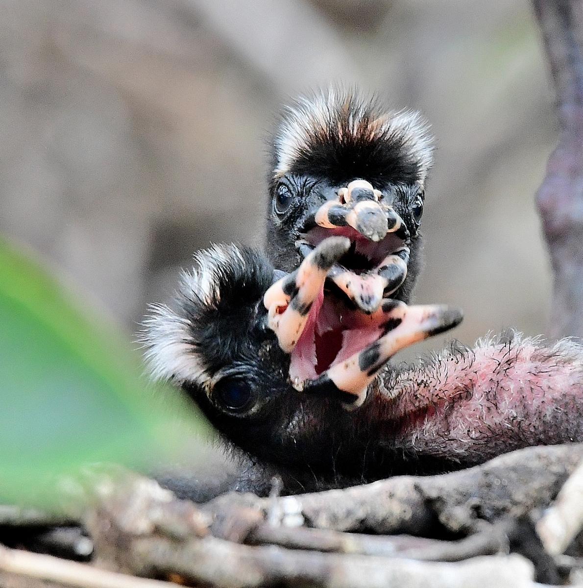 Glossy Ibis By Marilynne Strazzeri