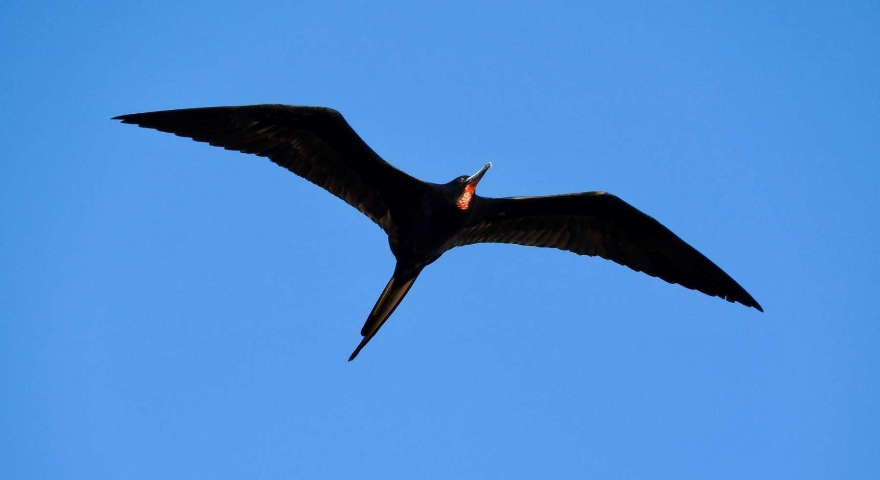 Magnificent Frigatebird By Marian Mcsherry