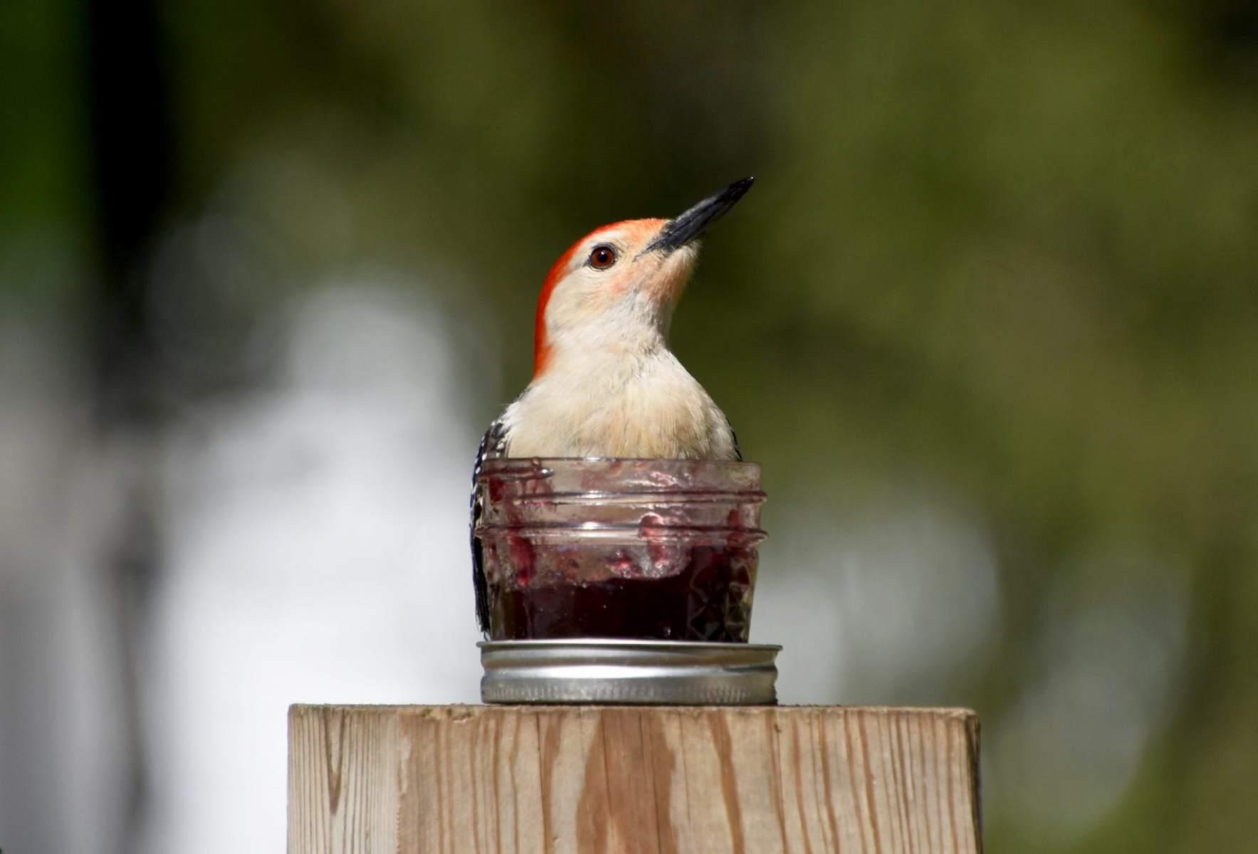 Red-bellied Woodpecker By Cassie Dahl