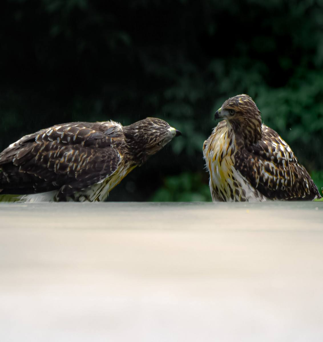 Red-tailed Hawks By Shrishti Joshi