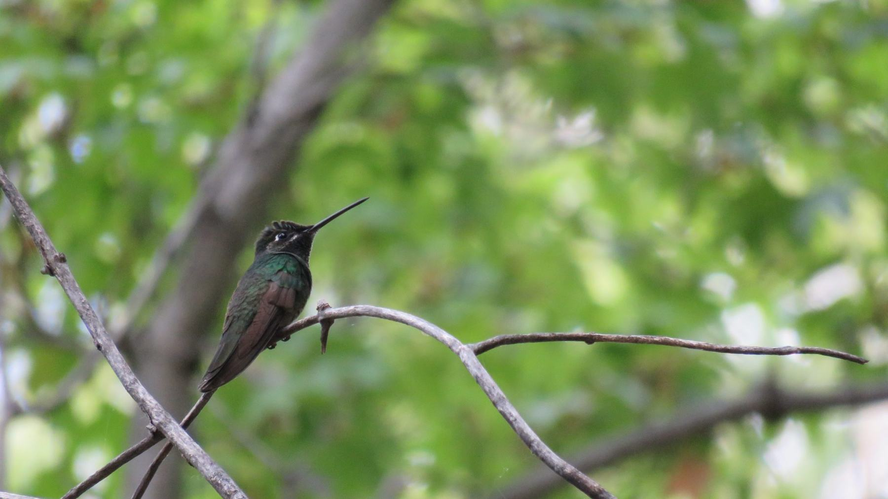 Rivoli's Hummingbird By Art Haddaway