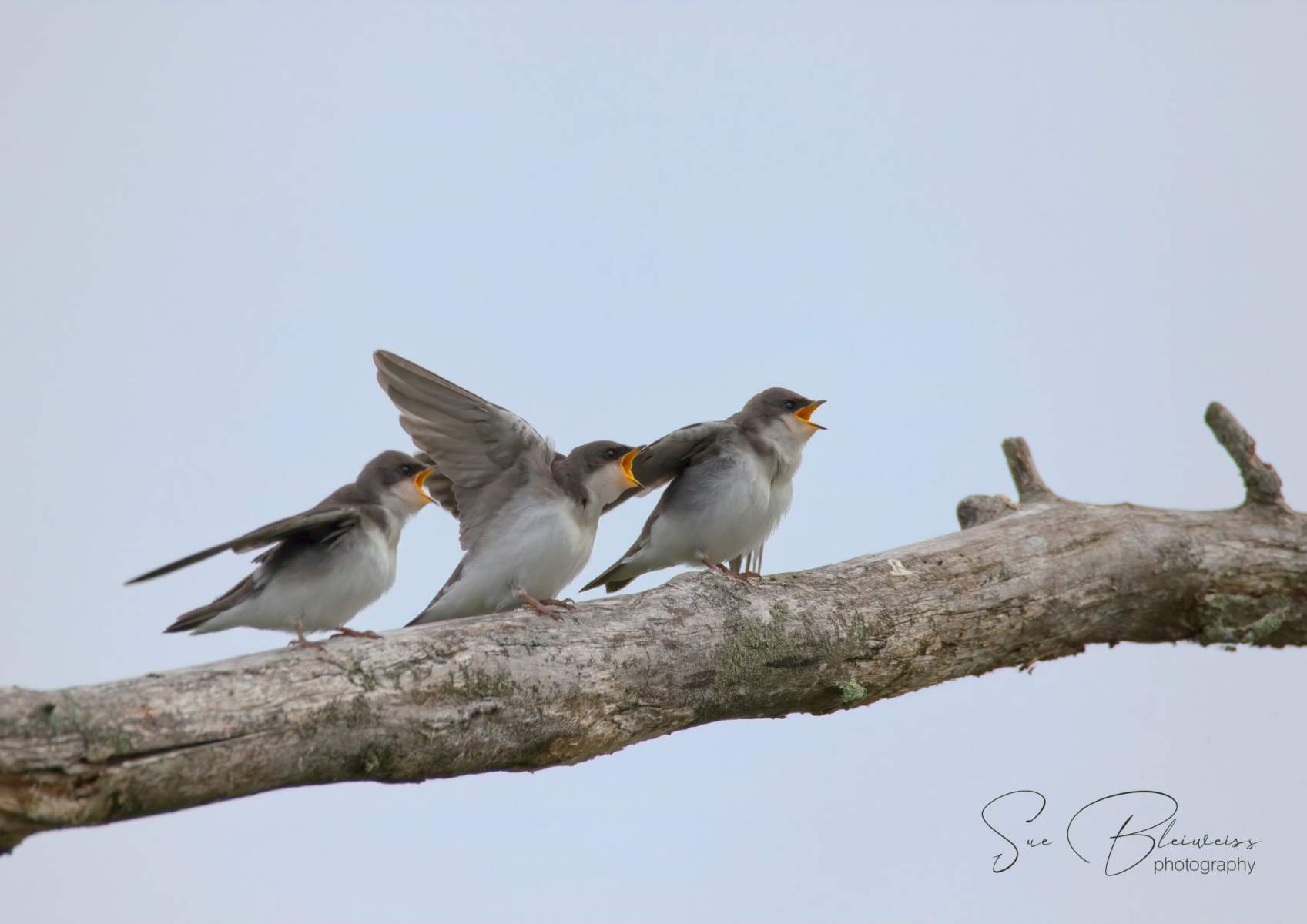 Tree Swallows By Susan Bleiweiss