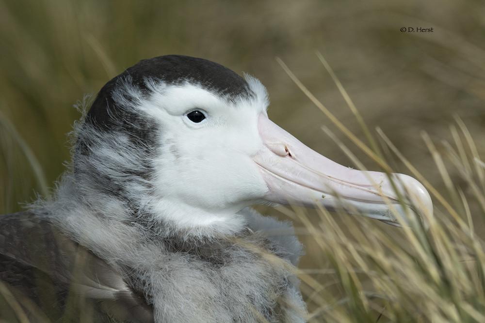 Wandering Albatross By Debra Herst