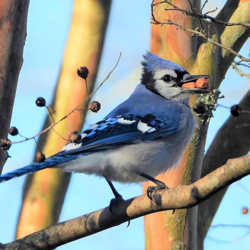 Blue Jay by Sue Crean