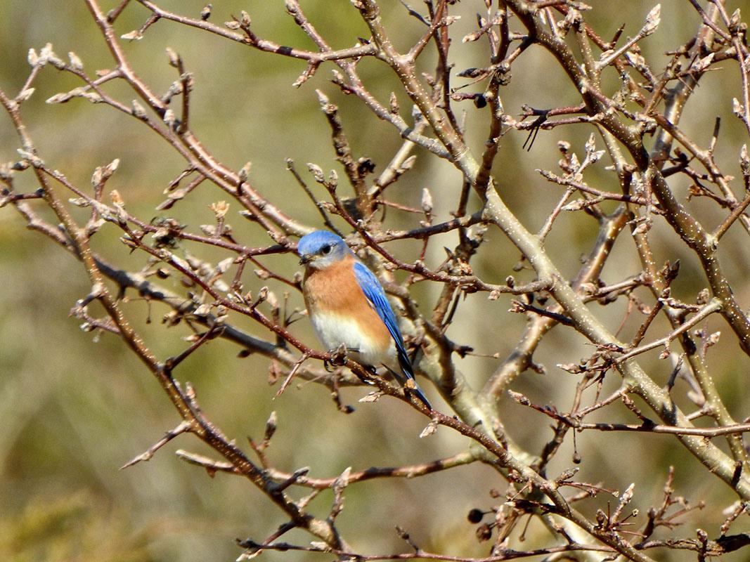 Eastern Bluebird by Marian McSherry