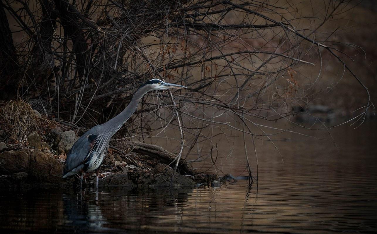 Great Blue Heron by James Flanagan Jr.