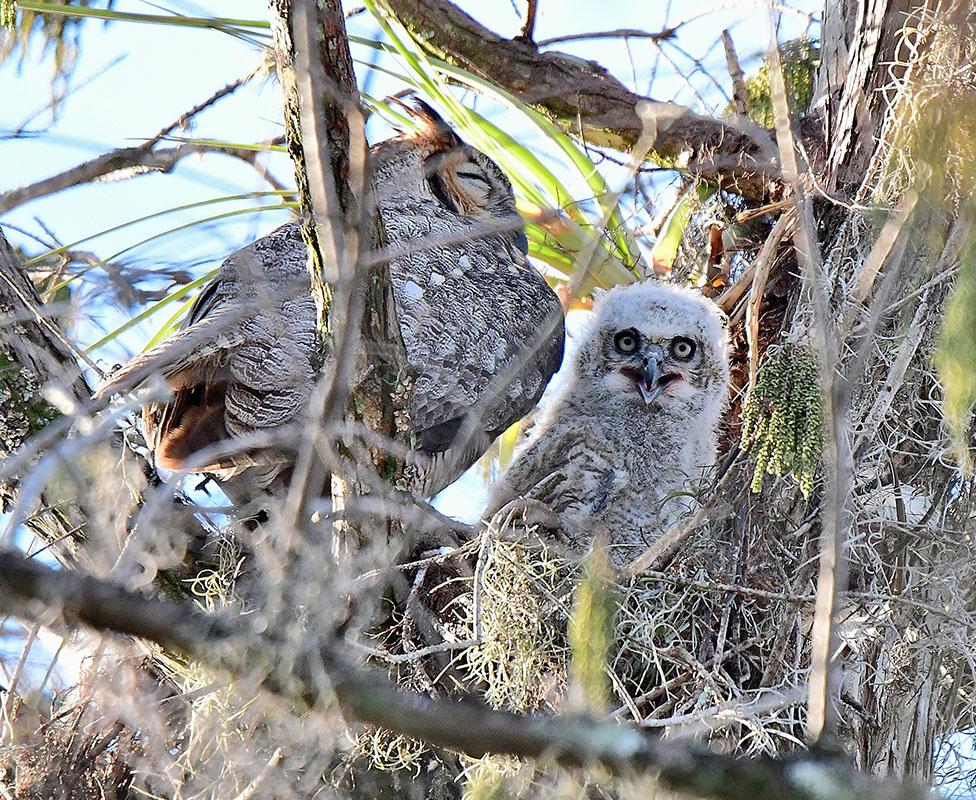 Great Horned Owls by Marilynne Strazzeri