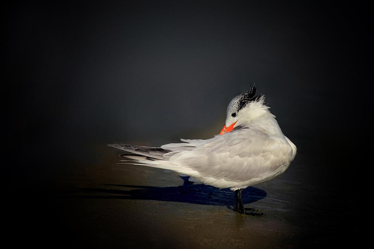 Royal Tern by Linn Smith