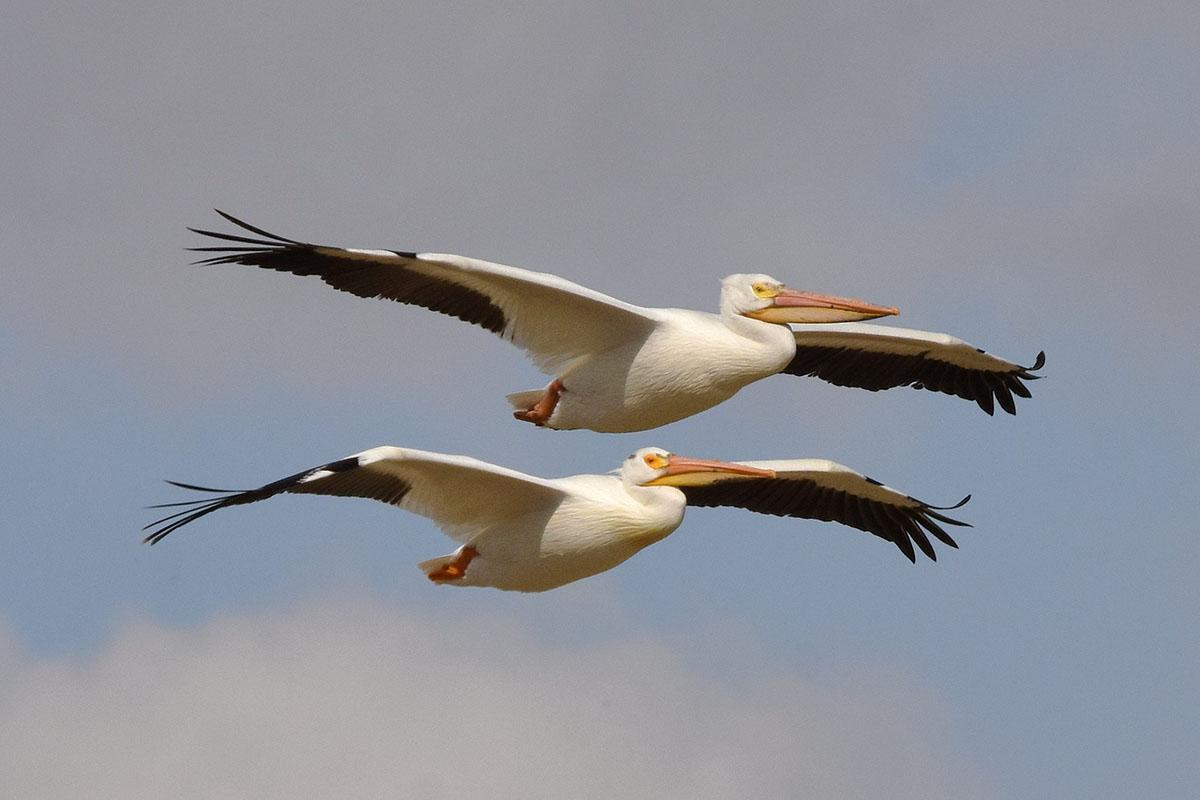 American White Pelicans by David Mundy
