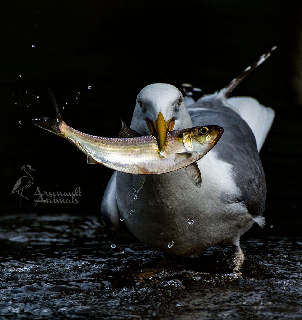 Herring Gull by Craiga1444