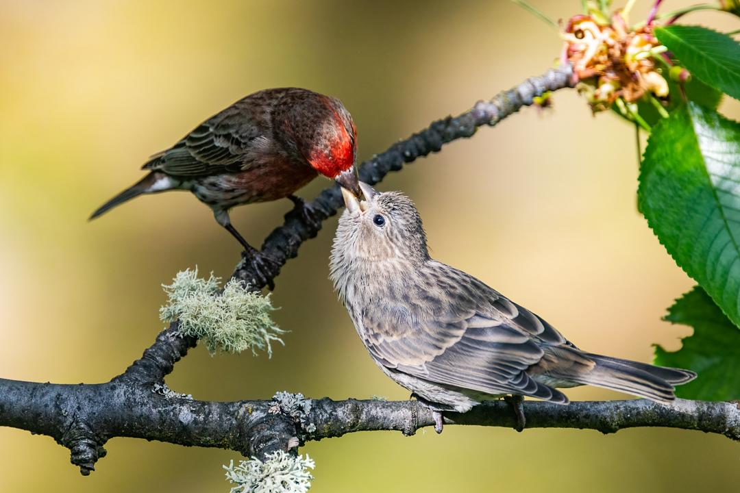 House Finches by Trav.Sullivan