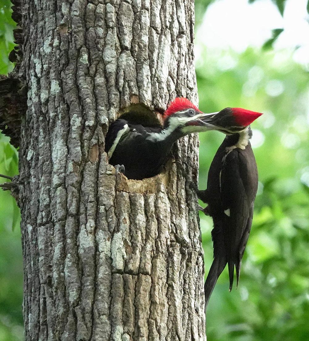 Pileated Woodpeckers by Myrna Erler Bradshaw