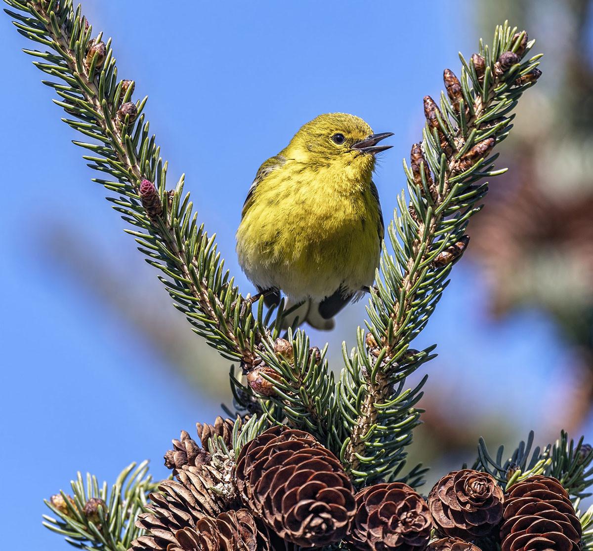 Pine Warbler by Robert Fritsch