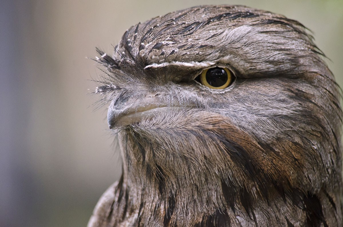 Tawny Frogmouth by Susan Flashman/Shutterstock