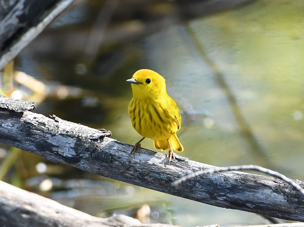 Yellow Warbler by Sheri Merritt