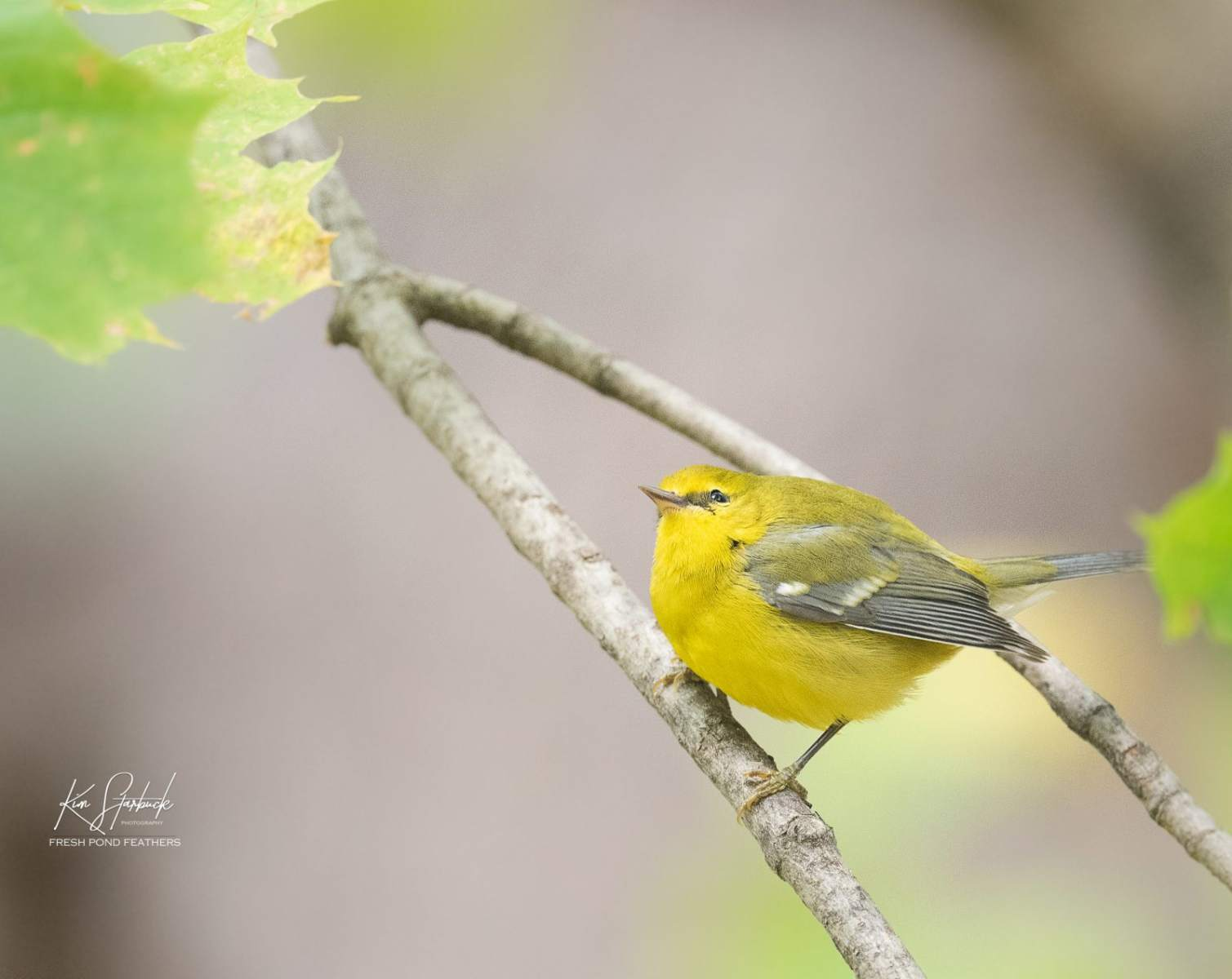 Blue-winged Warbler by freshpondfeathers