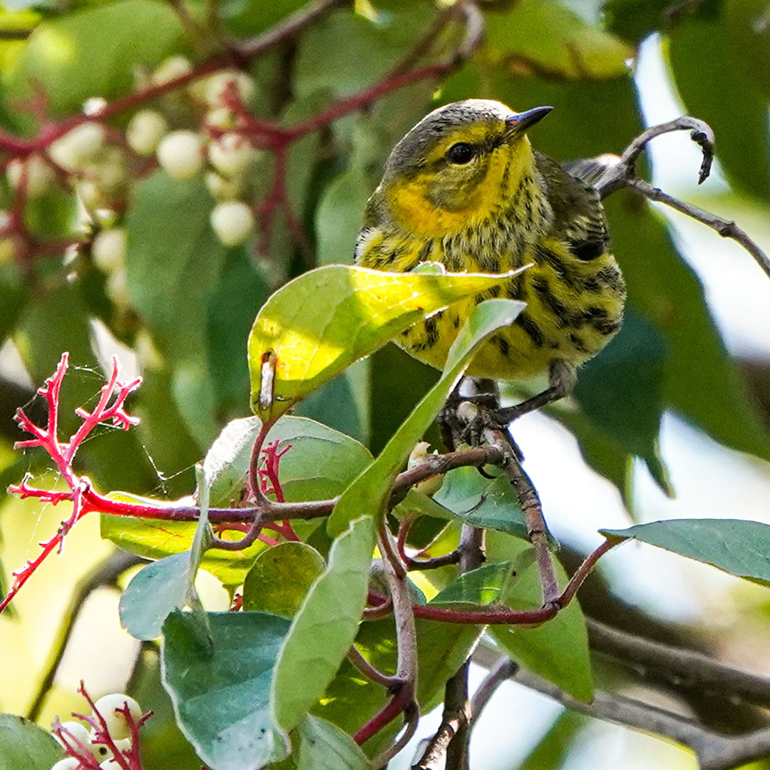 Cape May Warbler by Peggy Mckenzie