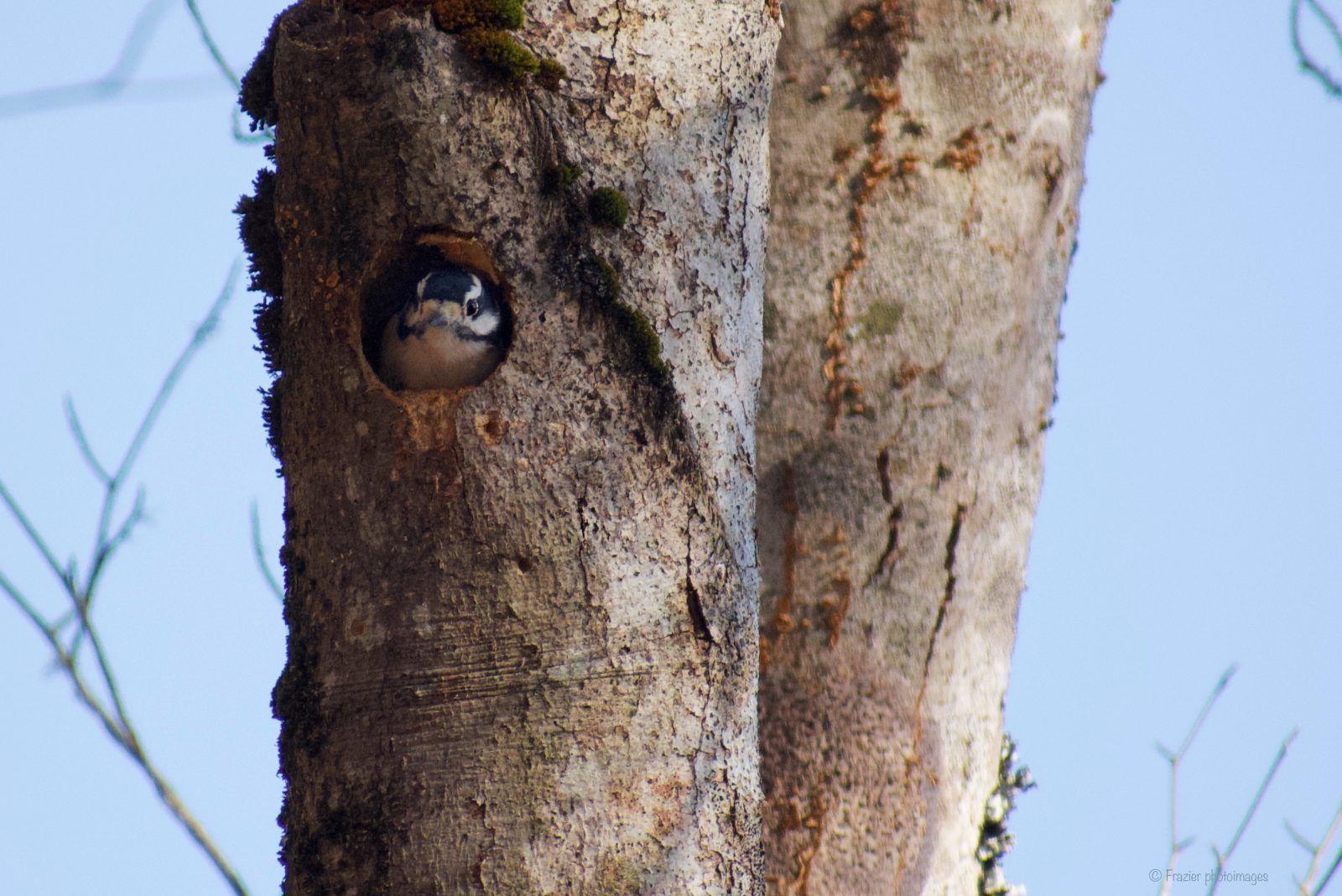 Downy Woodpecker by John Frazier