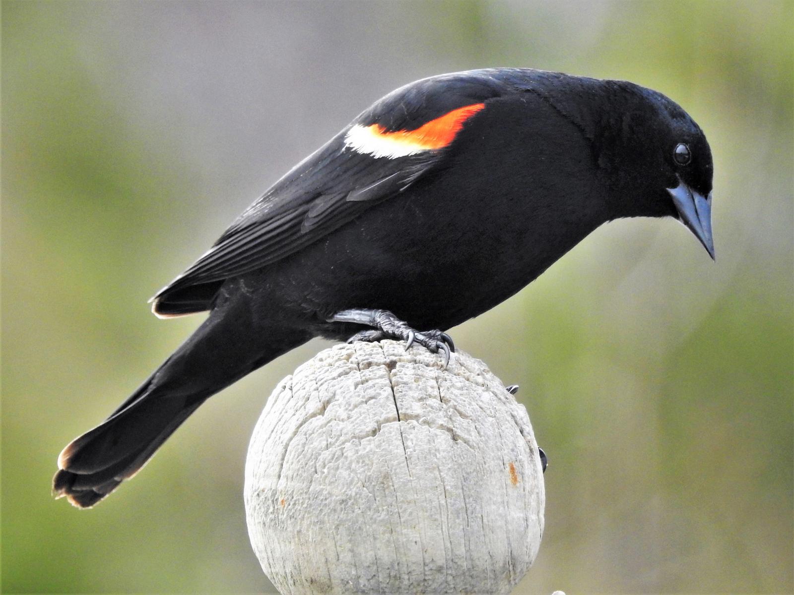 Red-winged Blackbird by Joan Wiitanen