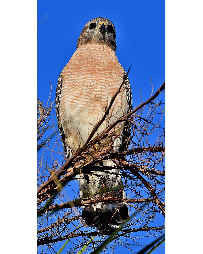 Red-shouldered Hawk by Marilynne Strazzeri