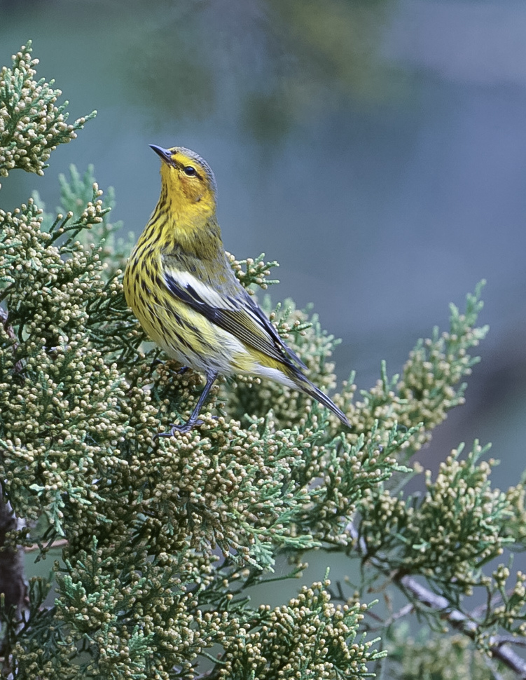 Cape May Warbler by Donna B. Housden