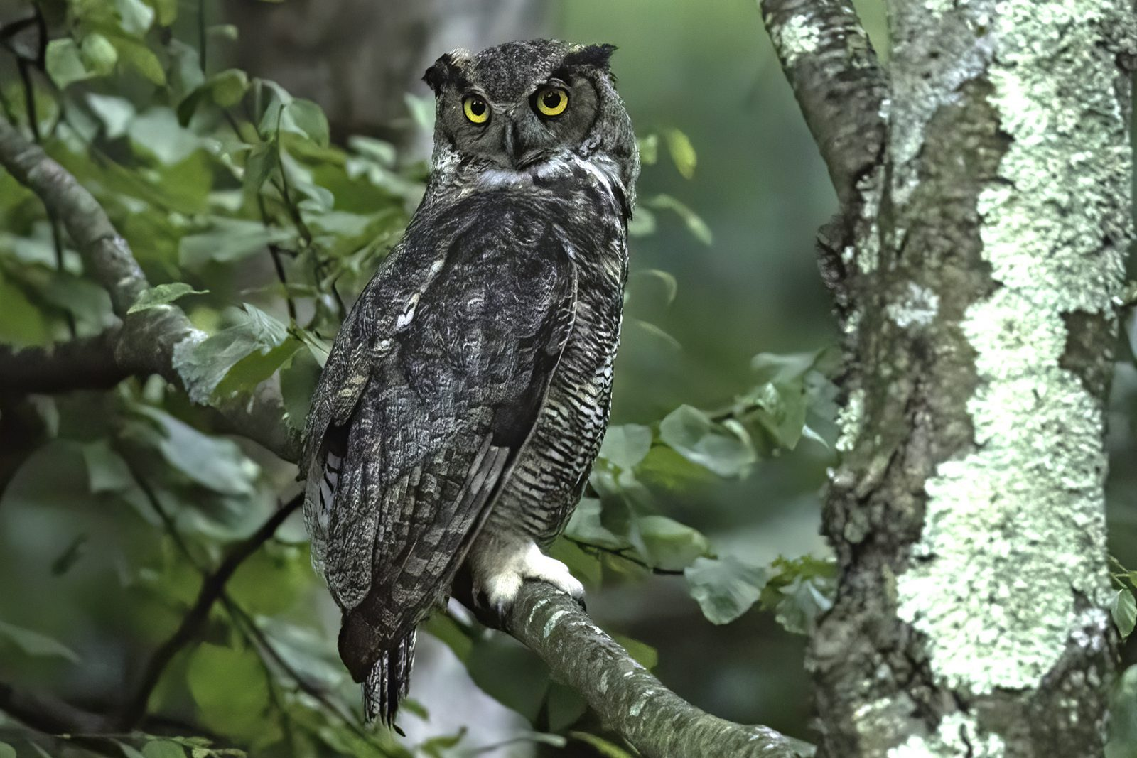 Great Horned Owl by Jeff Crawn