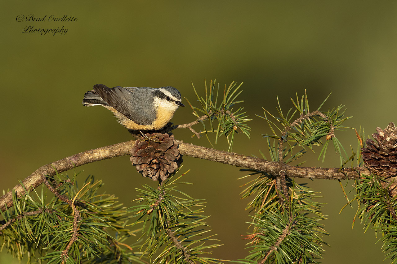 Red-breasted Nuthatch by Bradley Ouellette