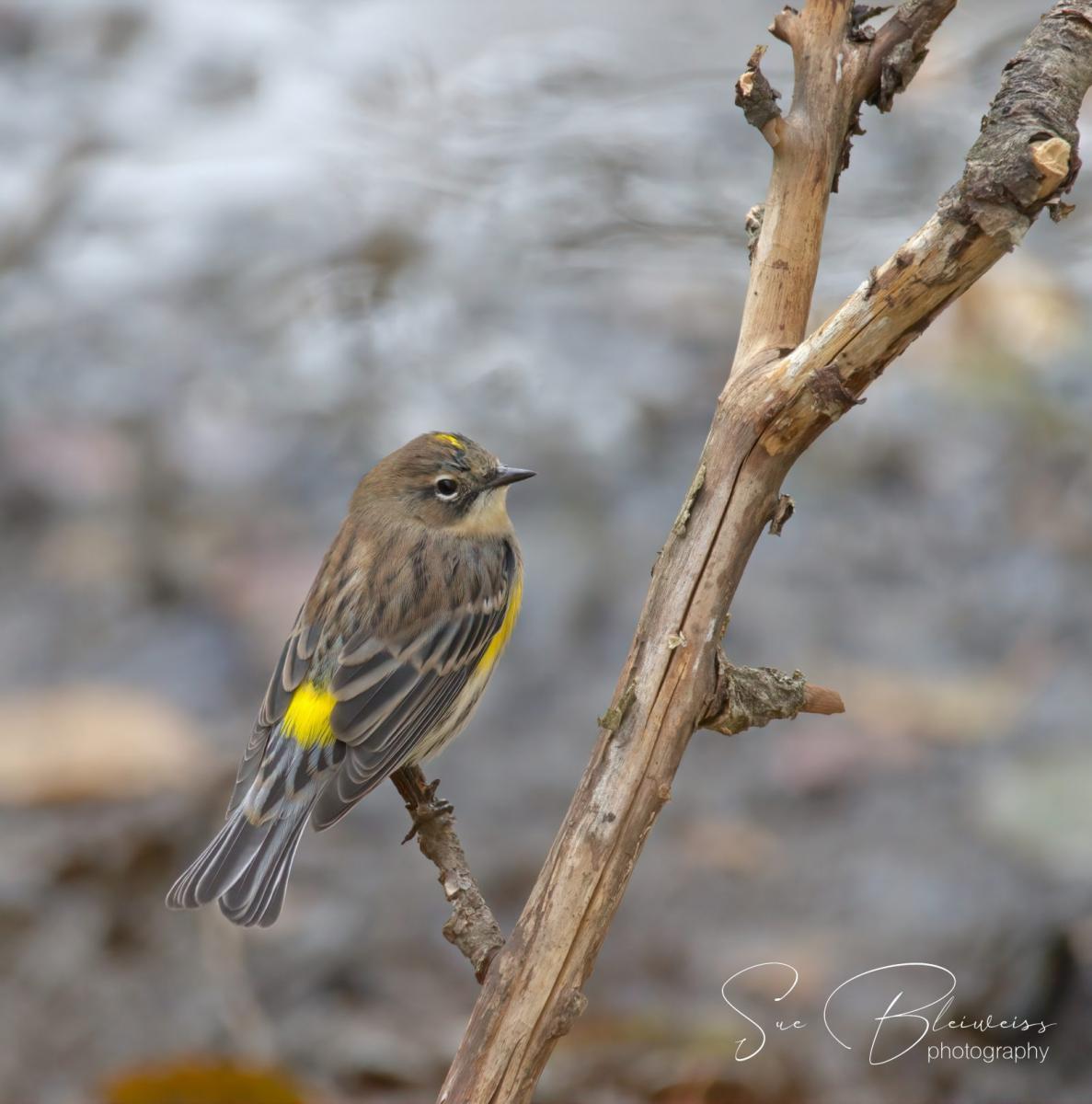 Yellow-rumped Warbler by Susan Bleiweiss