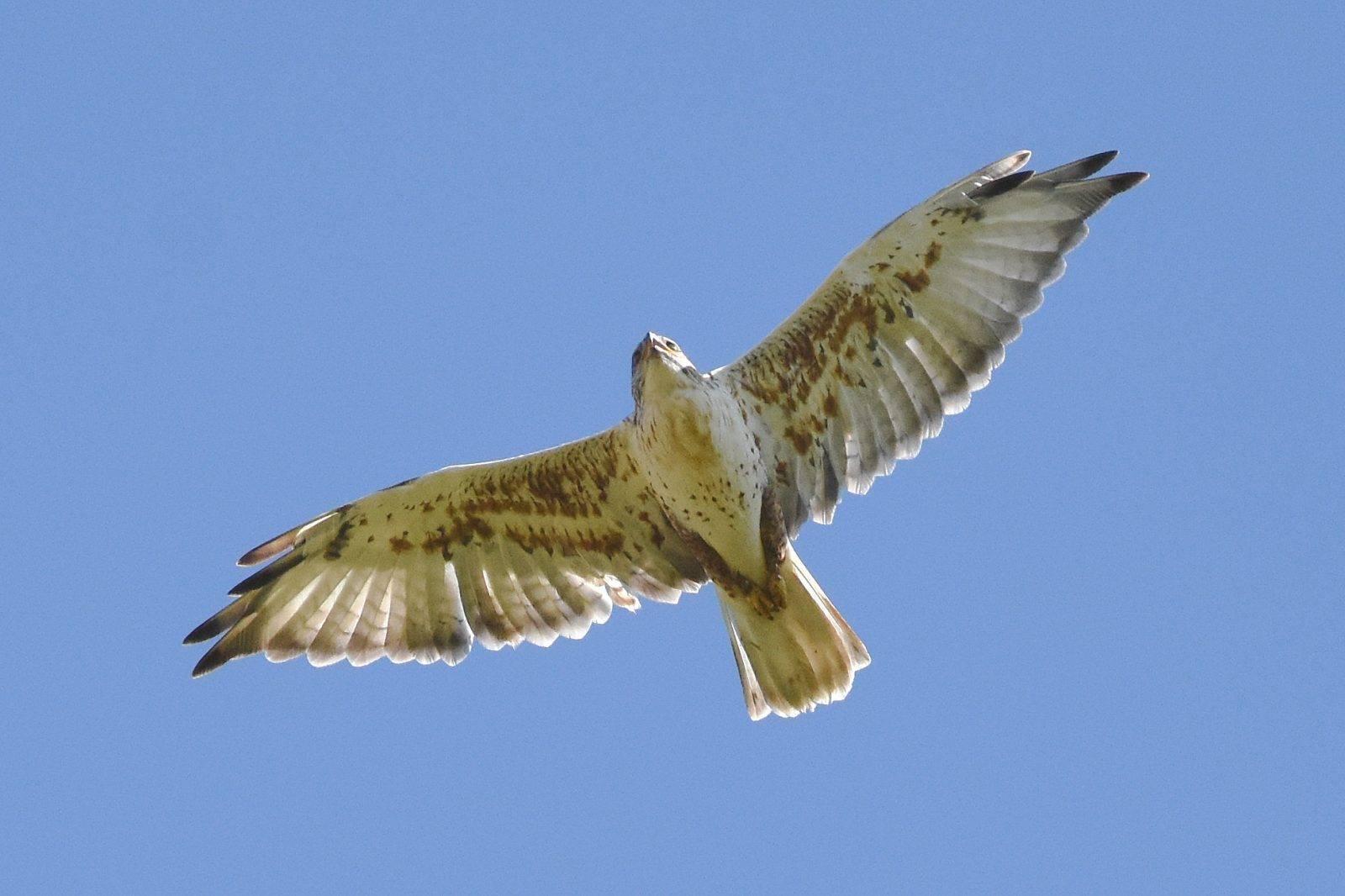 Ferruginous Hawk by David Mundy