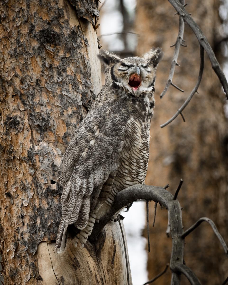 Great Horned Owl by Maria Rudolph