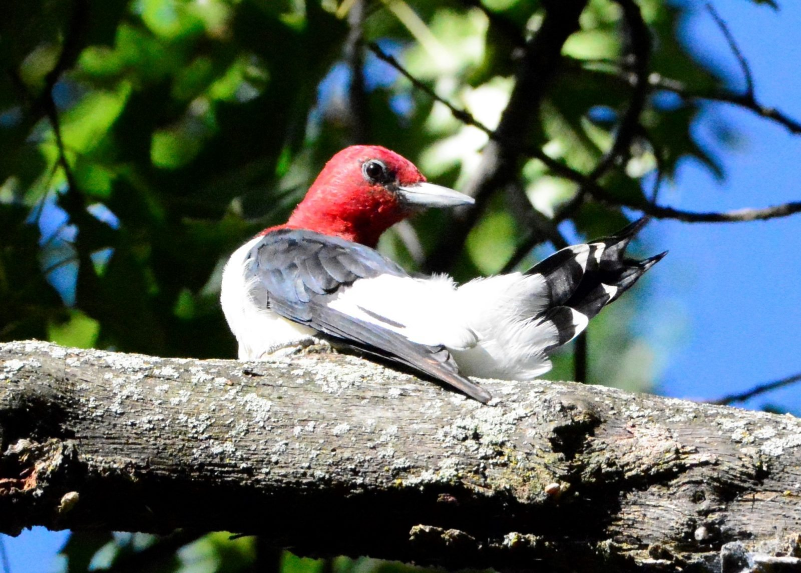 Red-headed Woodpecker by Sheri Merritt