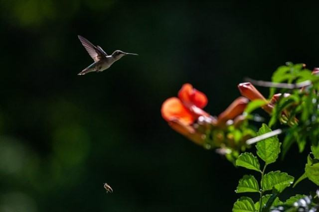 Ruby-throated Hummingbird by Amy Smith
