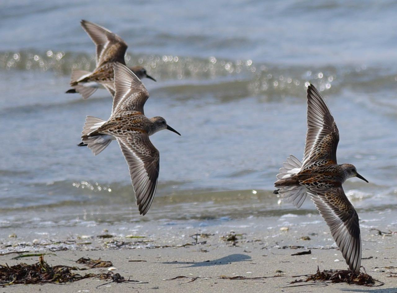 Western Sandpipers by Bob Betancourt