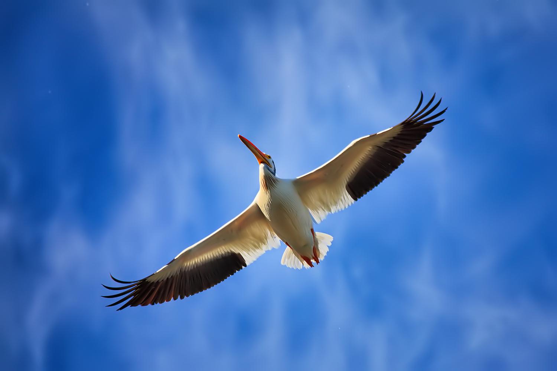 American White Pelican by Linn Smith