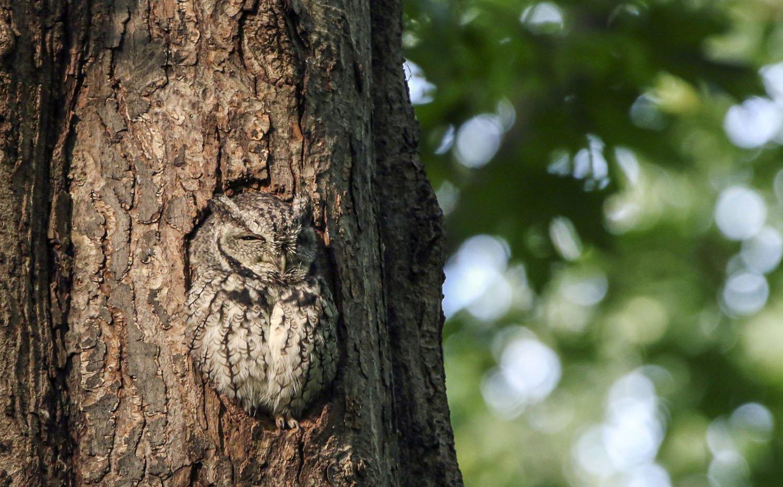 Eastern Screech-Owl by Amir Rizk