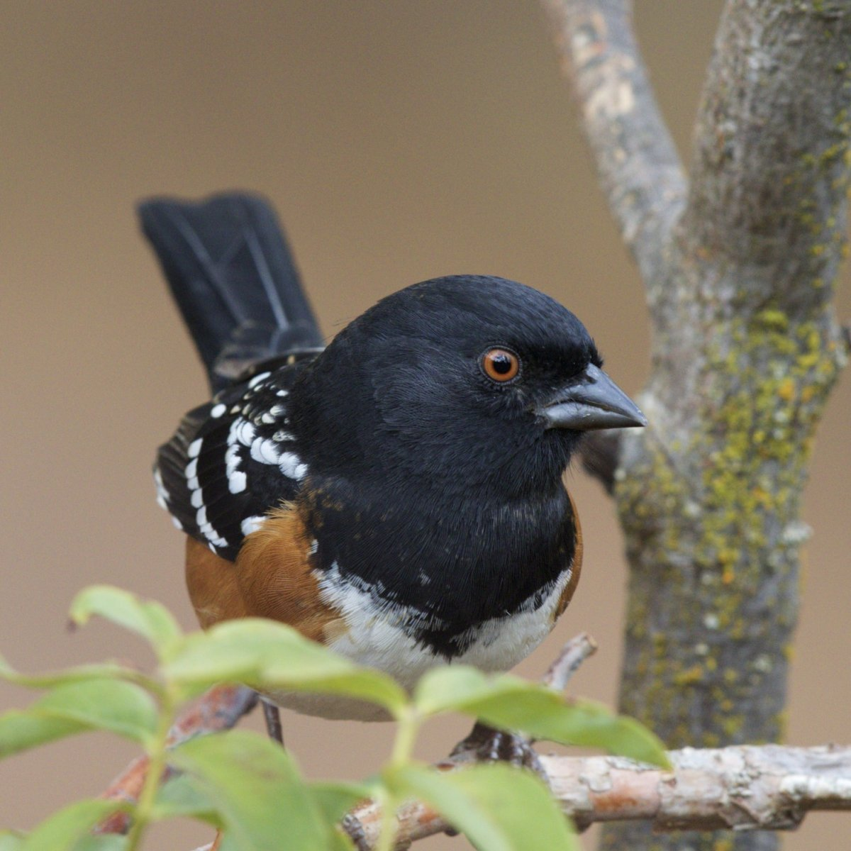 Spotted Towhee by Vern Johnson