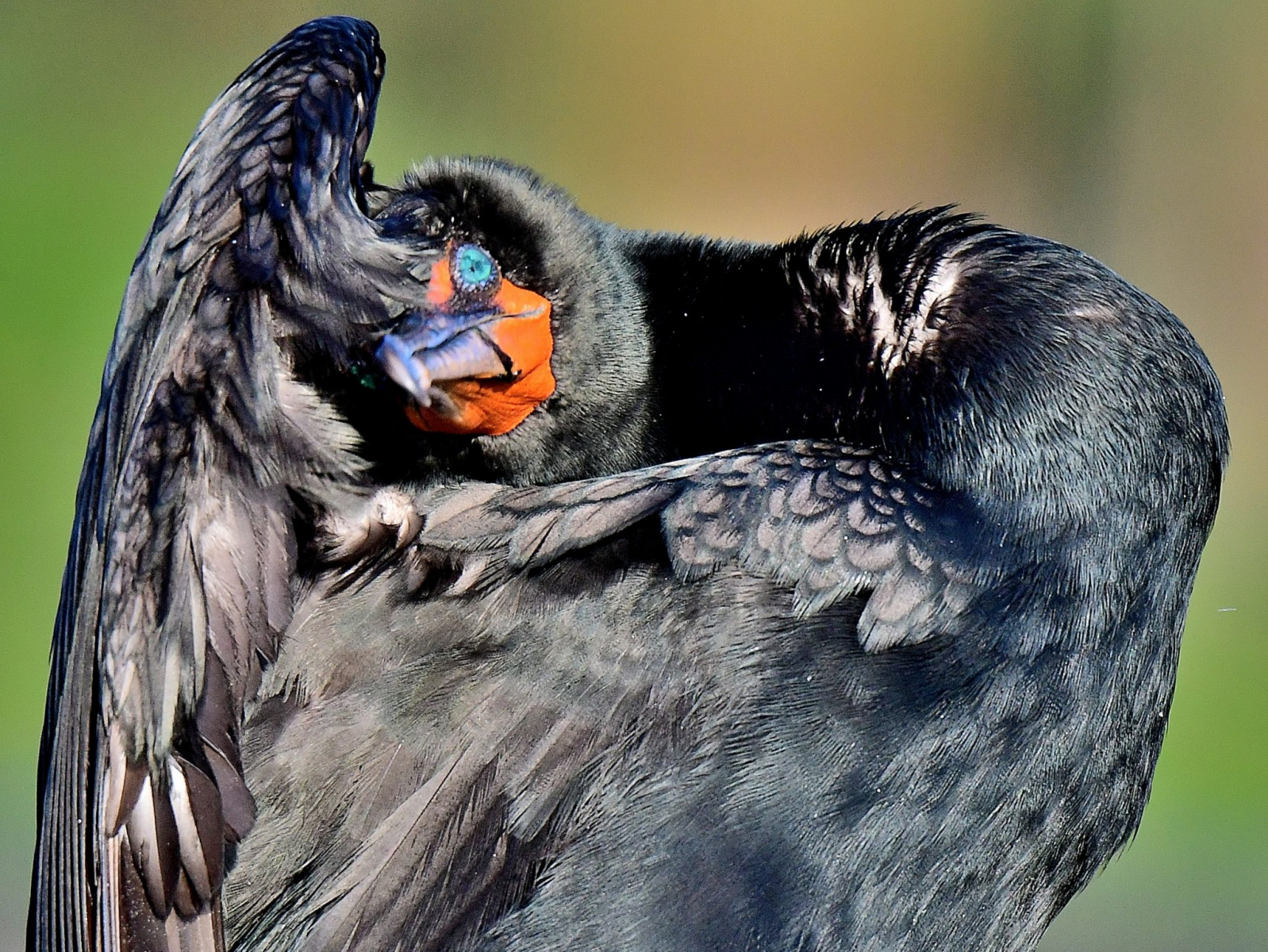 Double-crested Cormorant by Marilynne Strazzeri
