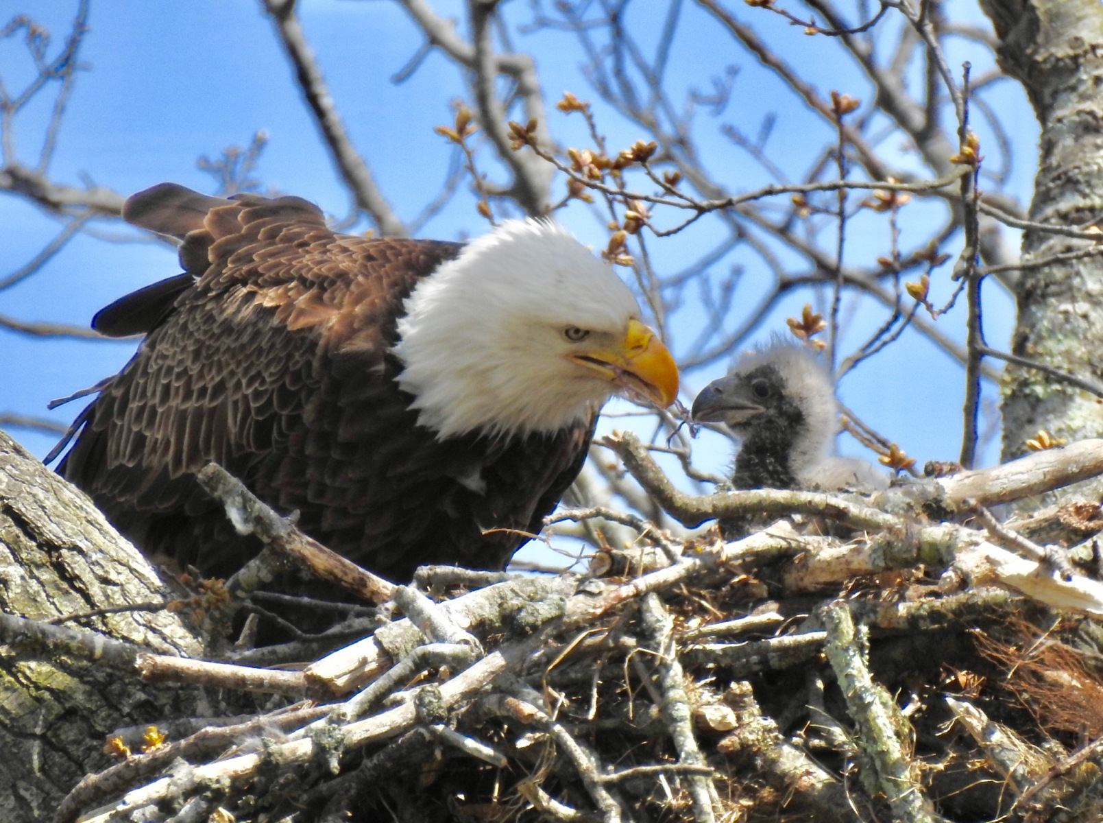 Bald Eagles by Marian McSherry