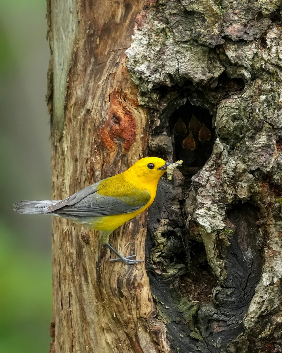 Prothonotary Warbler by Andy Raupp