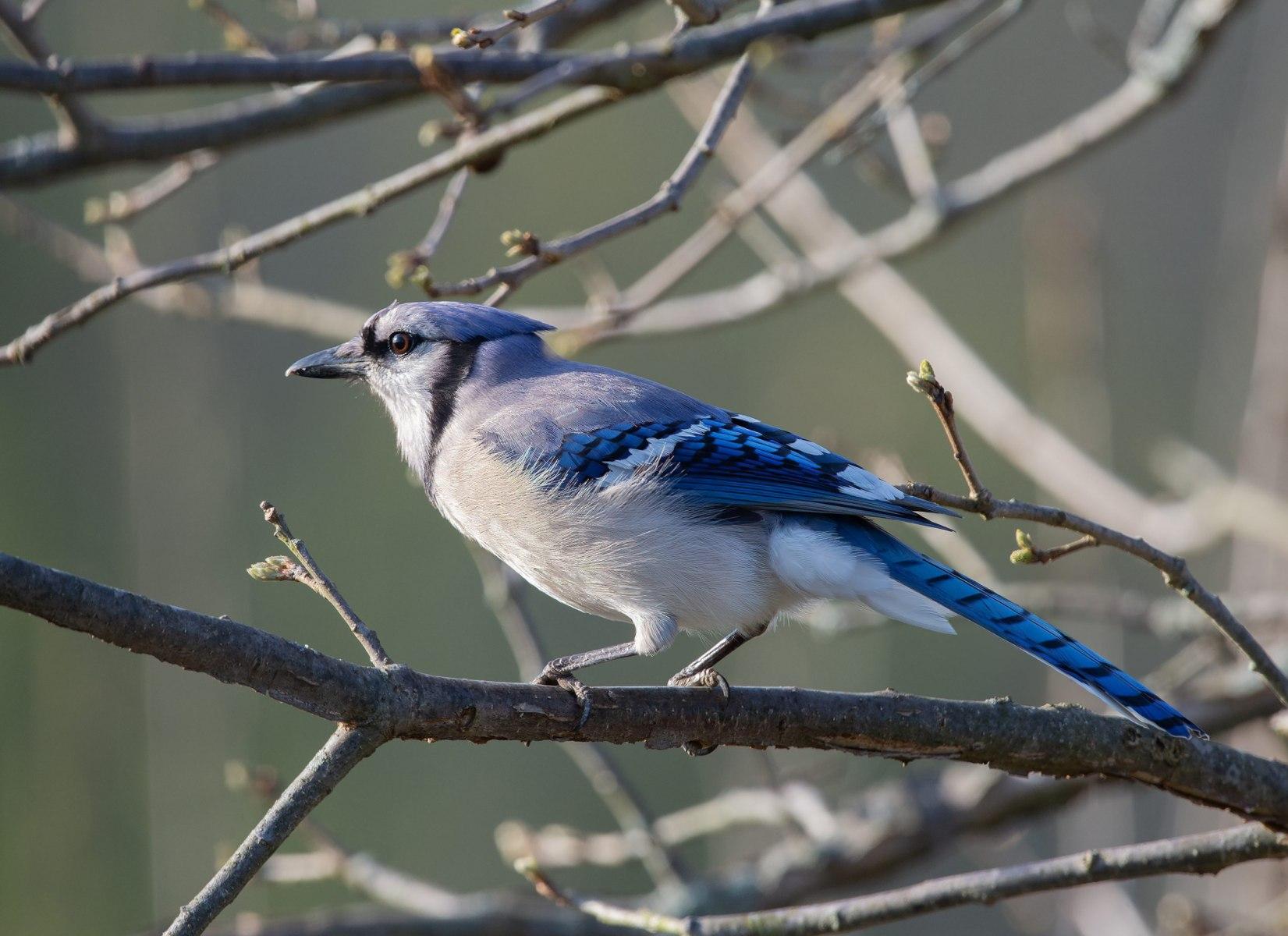 Blue Jay by Edwin Bowe