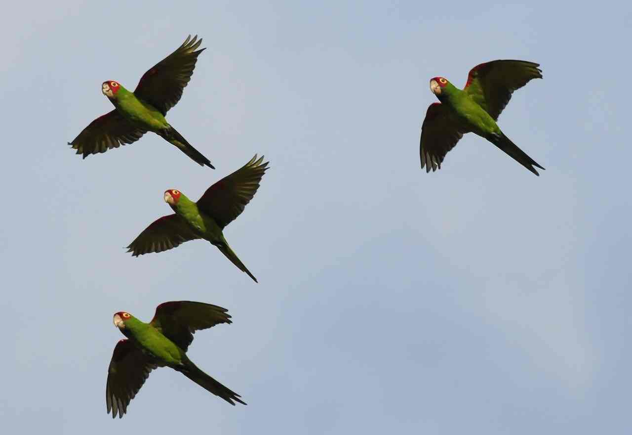 Red-masked Parakeets by Bob Betancourt