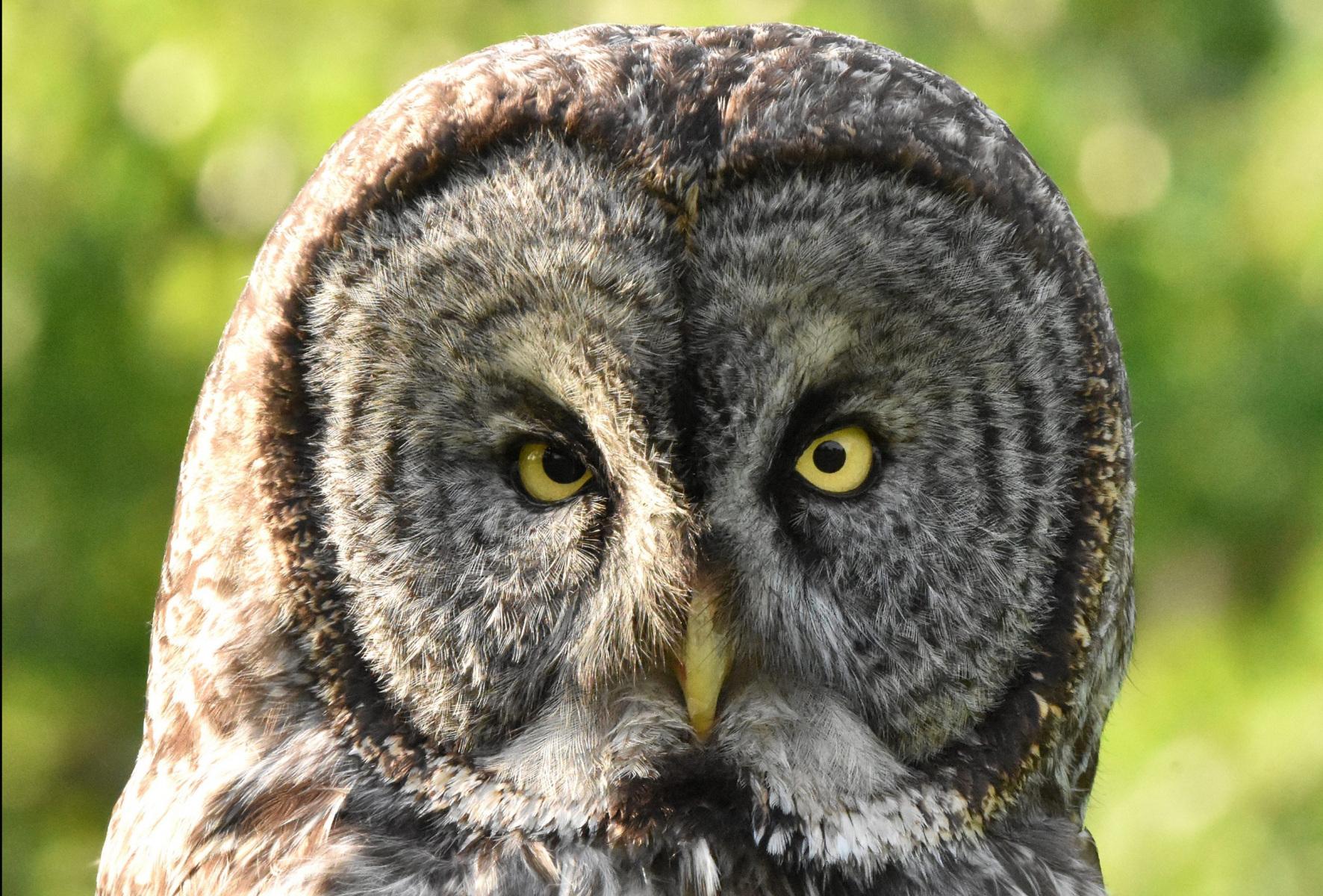 Great Gray Owl by David Mundy