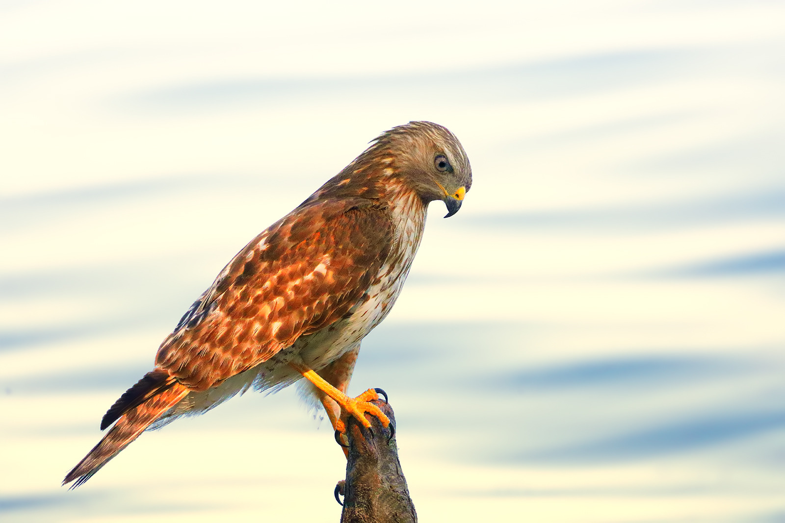 Red-shouldered Hawk by Linn Smith