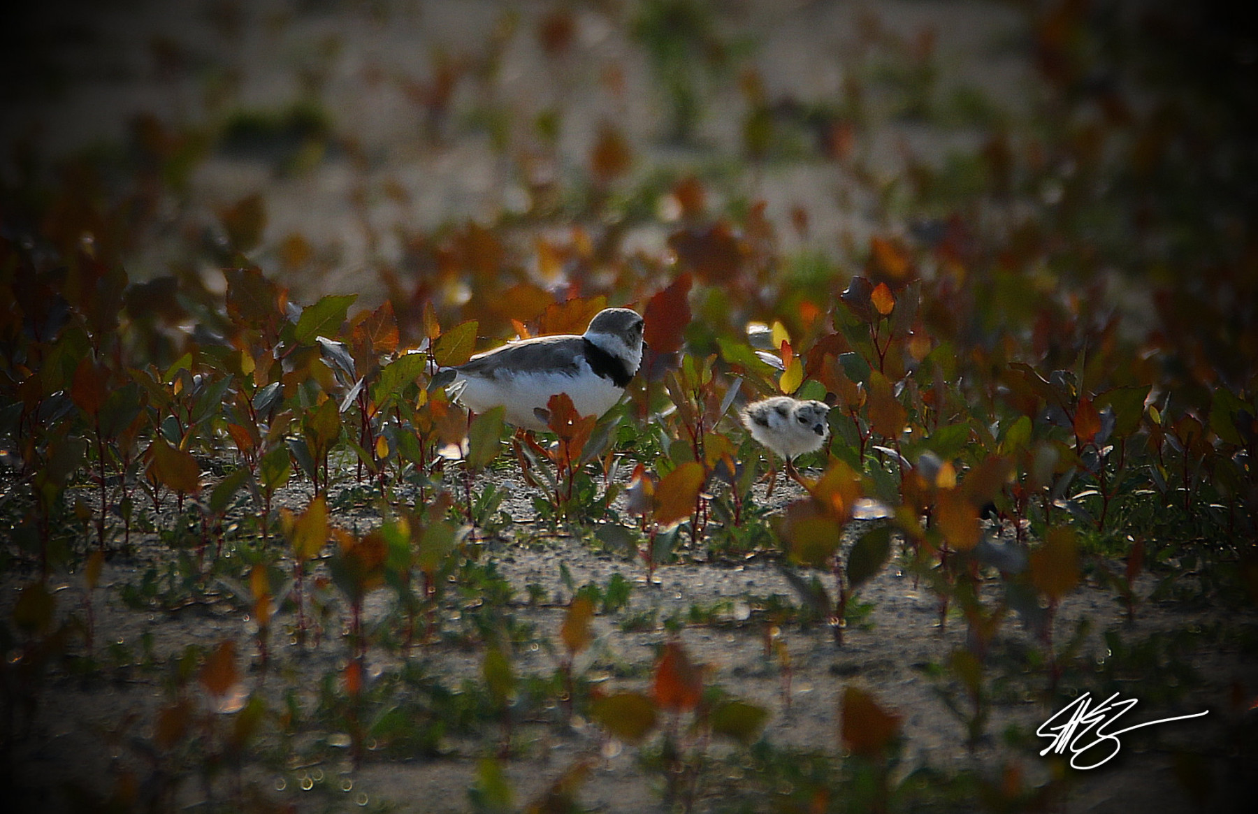 Piping Plovers by Scott Zimmermann