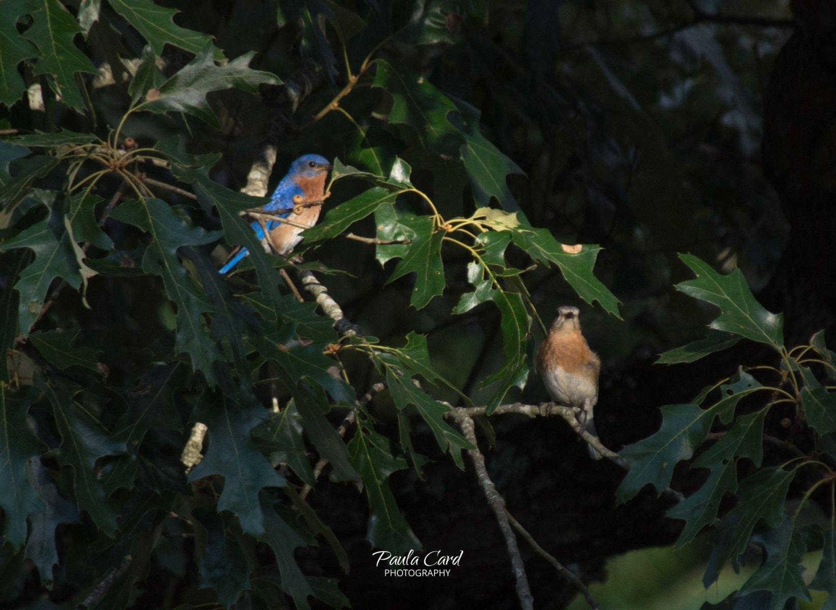 Eastern Bluebirds by Paula Card