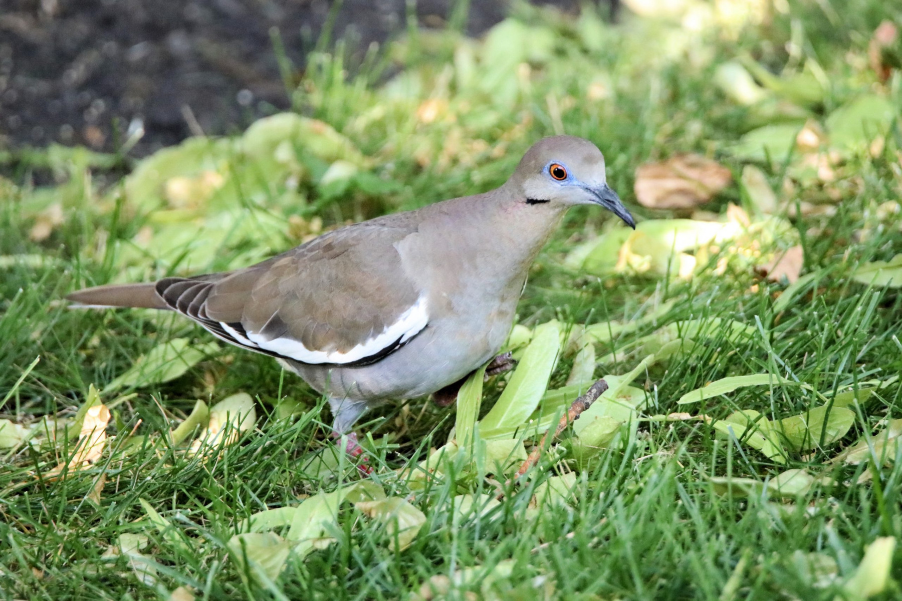 White-winged Dove by Douglas Harr